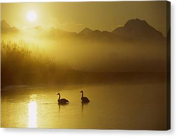 Trumpeter Swan Pair At Sunset Canvas Print by Michael Quinton