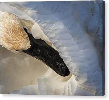 Canvas Print featuring the photograph Trumpeter Swan - Safe Place by Patti Deters