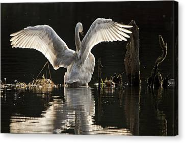 Canvas Print featuring the photograph Trumpeter Swan Stretch by Inge Riis McDonald