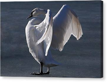 Trumpeter Swan - Zeus Canvas Print by Joy Bradley