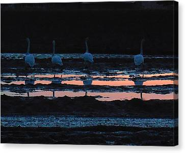 Trumpeter Swans In Pink Canvas Print
