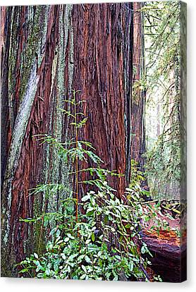 Trunk Of Coastal Redwood In Armstrong Redwoods State Preserve Near Guerneville-ca Canvas Print