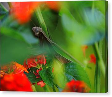 Trying To Hide Praying Mantis Canvas Print by Raymond Salani III