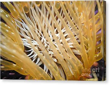 Tube Anemone  Canvas Print by Sami Sarkis