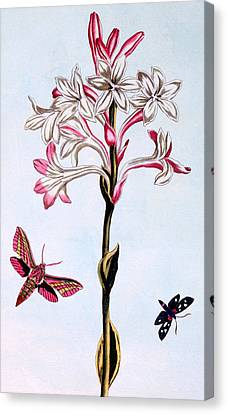 Tuberose Canvas Print by Pierre Joseph Buchoz