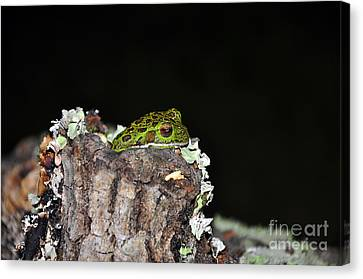 Tuckered Tree Frog Canvas Print by Al Powell Photography USA