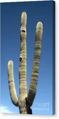 Tucson Arizona Cactus Canvas Print by Gregory Dyer