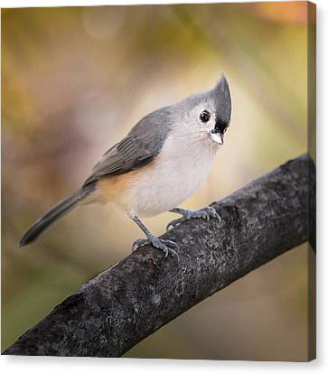 Tufted Titmouse Canvas Print by Bill Wakeley