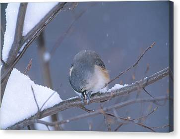 Tufted Titmouse Eating Seeds Canvas Print by Paul J. Fusco