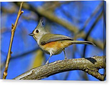 Tufted Titmouse Canvas Print by Gary Holmes