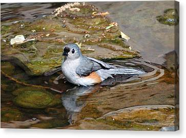 Tufted Titmouse In Pond Canvas Print by Sandy Keeton