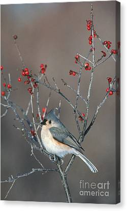 Tufted Titmouse Canvas Print by Larry West