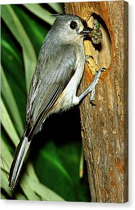 Titmouse Canvas Print - Tufted Titmouse by Millard H. Sharp