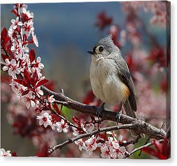 Tufted Titmouse On Ornamental Plum Blossoms Canvas Print by Lara Ellis