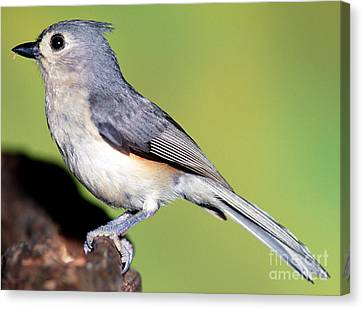 Titmouse Canvas Print - Tufted Titmouse Parus Bicolor by Millard H. Sharp