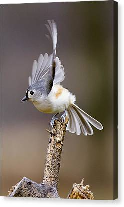 Tufted Titmouse Takeoff Canvas Print by David Lester