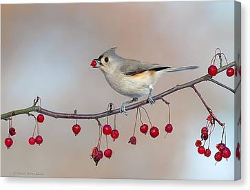 Tufted Titmouse With Red Berry Canvas Print
