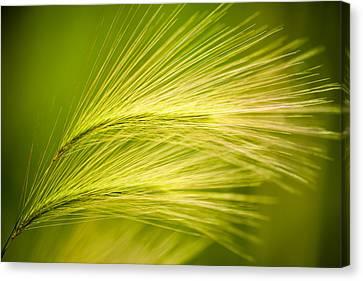 Tufts Of Ornamental Grass Canvas Print by  Onyonet  Photo Studios