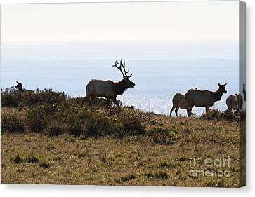 Tules Elks Of Tomales Bay California - 7d21230 Canvas Print by Wingsdomain Art and Photography