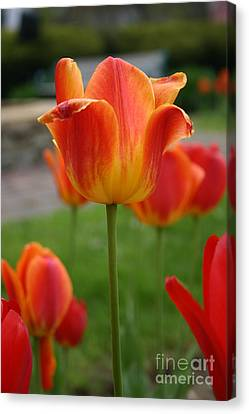 Tulip Collection Photo 1 Canvas Print