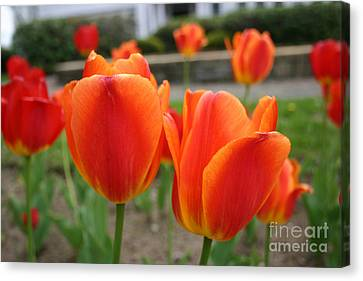 Tulip Collection Photo 2 Canvas Print
