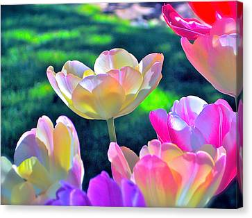 Tulip 21 Canvas Print by Pamela Cooper