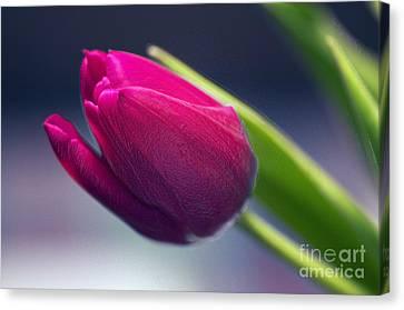 Tulip 2a Canvas Print by Sharon Talson