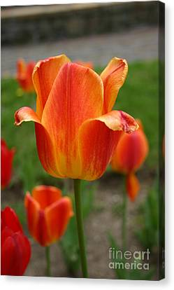 Tulip Collection Photo 4 Canvas Print