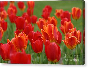 Tulip Collection Photo 7 Canvas Print