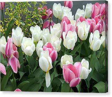 Purple And White Tulips Canvas Print by Catherine Gagne