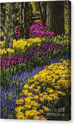 Tulip Beds Canvas Print