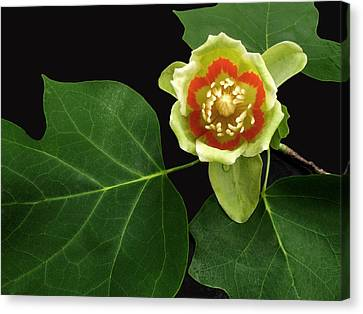 Tulip Bloom Canvas Print