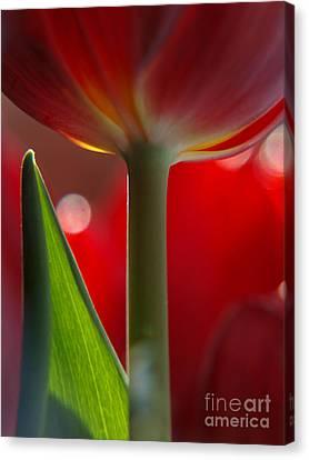Tulip Bokeh Canvas Print