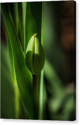 Tulip Bud Canvas Print by Peter Scott