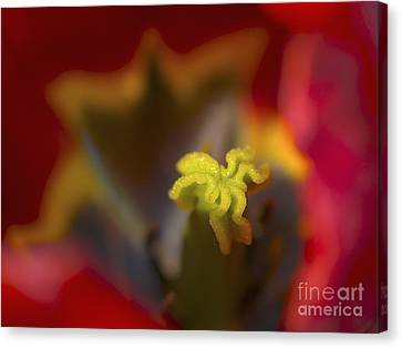Tulip Center Canvas Print by Sharon Talson