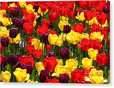 Tulip Colors Canvas Print by Tap On Photo