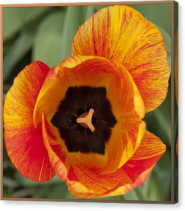 Canvas Print featuring the photograph Tulip Design by Terri Harper