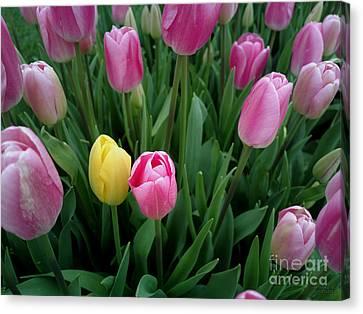 Tulip Festival - 36  Canvas Print by Hanza Turgul