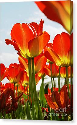 Canvas Print featuring the photograph Tulip Field 1 by Rudi Prott