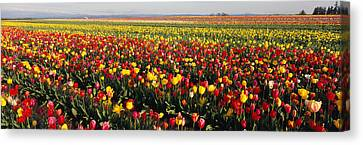 Tulip Field, Willamette Valley, Oregon Canvas Print by Panoramic Images