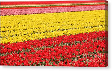 Tulip Fields 1 Canvas Print by Jasna Buncic