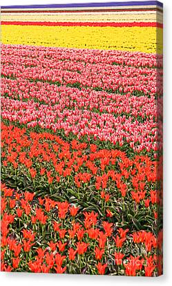 Tulip Fields 2 Canvas Print by Jasna Buncic