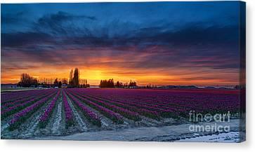 Tulip Fields Dusk Skies Canvas Print