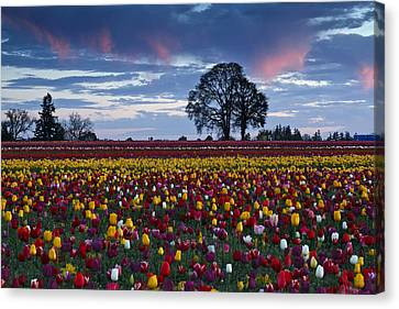 Tulip Field's Last Colors Canvas Print by Wes and Dotty Weber