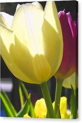Tulip In Bright Sunlight Canvas Print