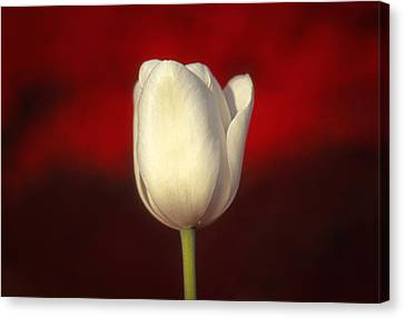 Tulip Canvas Print by Marion Johnson