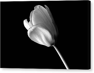 Tulip Canvas Print by Marwan Khoury