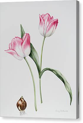 Tulip Meissner Porcellan With Bulb  Canvas Print by Sally Crosthwaite