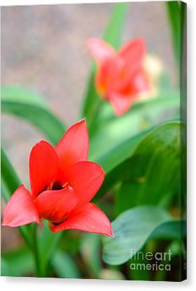 Tulip Of Dream Canvas Print
