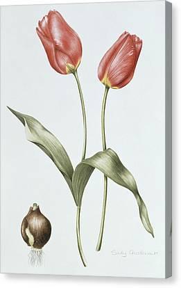 Tulip Red Darwin Canvas Print by Sally Crosthwaite